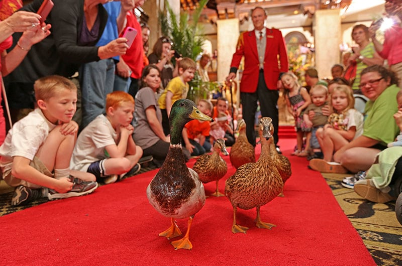 The Peabody Duck March With Assistant