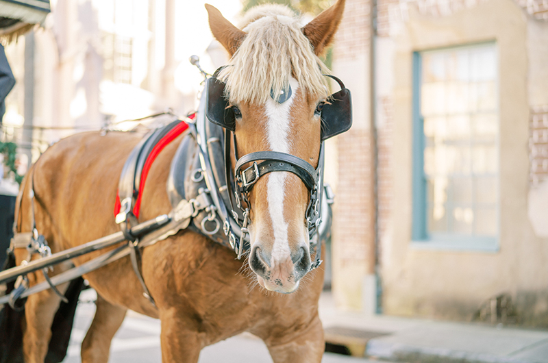South Carolina Couple Postpones Big Wedding For A Christmas Elopement Horse Walking On City Streets